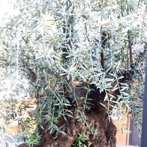 oliviers millénaires déracinés