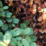 gestion des arbustes
