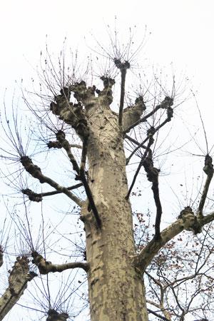 arbre mutilé