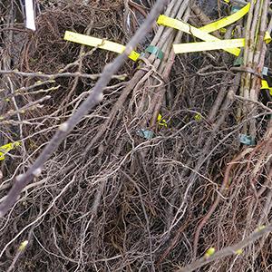 plantation d'arbres résistants à la sécheresse